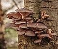 Gewone oesterzwam (Pleurotus ostreatus) 31-12-2020 (d.j.b.) 05.jpg
