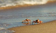 Ghost Crab (Ocypode ryderi) by hyper7pro Flickr, South Africa.jpg
