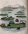 Giant water lilies (Victoria amazonica) in a tropical lake. Wellcome V0043223.jpg