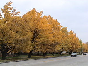 Riverside, Illinois - Ginkgos along Harlem Avenue in Riverside