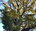Ginkgo Tree Arita 04.jpg