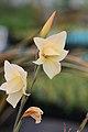 Gladiolus dalenii (1).jpg