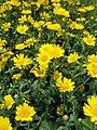Glebionis segetum inflorescence (29).jpg