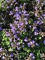 Glechoma hederacea 120735211.jpg
