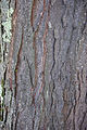 Gleditsia triacanthos bark.jpg