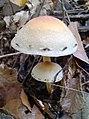 Gljive kišobrani Kalnik.jpg