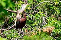 Glossy-Ibis-for-Wiki.jpg