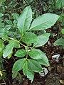 Glycosmis mauritiana 04.JPG