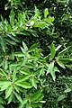 Glycosmis pentaphylla kz6.jpg
