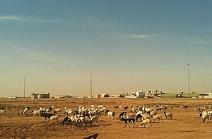 Agriculture in Qatar - Goats grazing on the arid terrain of Qatar.