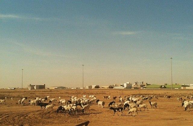 GoatGrazingInQatar