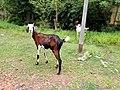 Goat in Neyveli.jpg