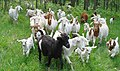 Goats on the move-FMPPblog - Flickr - USDAgov.jpg