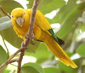 Golden Conure Guaruba guarouba 1750px.jpg