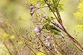 Golden Fronted Leafbird - Female.jpg
