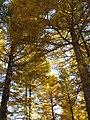Golden forests at Chongli 崇礼金秋 (8181796459).jpg