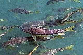 <i>Tor putitora</i> Species of fish
