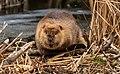 Good Beavers.jpg