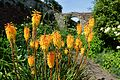 "Goodnestone Park Kniphofia ""Red Hot Poker"".JPG"