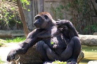 Gorilla .jpg