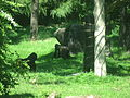 Gorilla gorilla in Burgers' Zoo (Park) (2).JPG