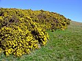 Gorse bank near Morfa - geograph.org.uk - 729655.jpg