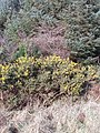 Gorse in Clifford Plantation - geograph.org.uk - 689087.jpg
