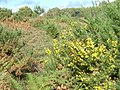 Gorse on Pound Common - geograph.org.uk - 264161.jpg