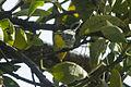 Grace's Warbler - Sinaloa - Mexico S4E0776 (22674713169).jpg