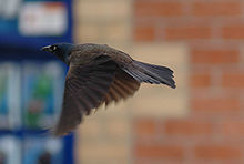 GrackleInFlight.jpg