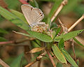 Gram Blue (Euchrysops cnejus) in Kolkata W IMG 4611.jpg