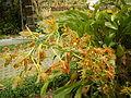 Grammatophyllummultiflorumjf9215 10.JPG