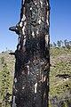 Gran Canaria pine forrest near Presa del Mulato (MGK17523).jpg