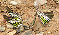 Graphium antiphates - Five-bar Swordtail 26.jpg