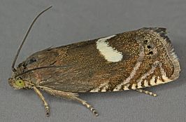 Grapholita lunulana, Burley Hill Quarry, North Wales, May 2012 (19494607638).jpg