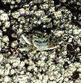 Grapsus grapsus subsp tenuicrustatus, Ballito.jpg