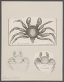 Grapsus pictus - - Print - Iconographia Zoologica - Special Collections University of Amsterdam - UBAINV0274 094 04 0005.tif