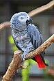 Graupapagei (Psittacus erithacus erithacus) - Weltvogelpark Walsrode 2011.jpg