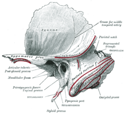 temporal bone - wikipedia, Human Body