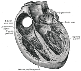 Ventricle (heart) - Heart section showing ventricles and ventricular septum