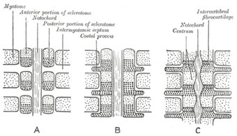 Development of vertebrae