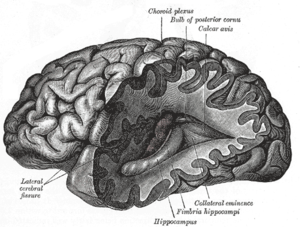 Neuroscience - Illustration from Gray's Anatomy (1918) of a lateral view of the human brain, featuring the hippocampus among other neuroanatomical features