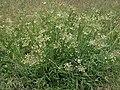 Great Basin angelica, Angelica kingii (27954284599).jpg
