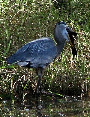 Alafia River - Image: Great Blue Heron Alafia River State Park