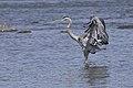 Great Blue Heron BDT7934.jpg