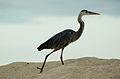 Great blue heron (4201771929).jpg