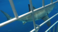 Great white shark at Isla Guadalupe, Mexico.png