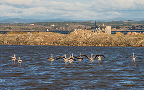 Greater Flamingos, Lido de Thau, Sète 04.jpg