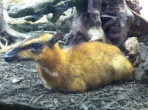 Greater mouse-deer - Greater mouse-deer at the Smithsonian National Zoological Park, Washington, DC
