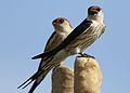 Greater Striped Swallow, Hirundo cucullata (syn. Cecropis cucullata), at Marievale Nature Reserve, Gauteng, South Africa (30420096851).jpg